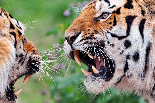 body-language-tigers